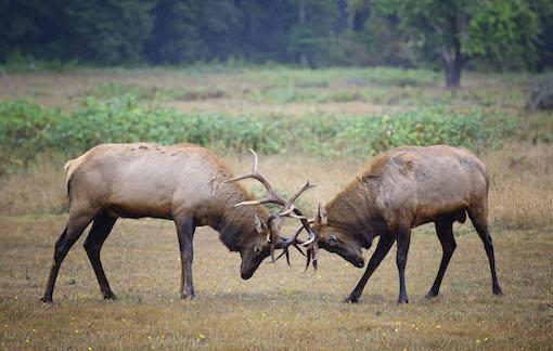 04_Redwood nationaal park - Elk gevecht