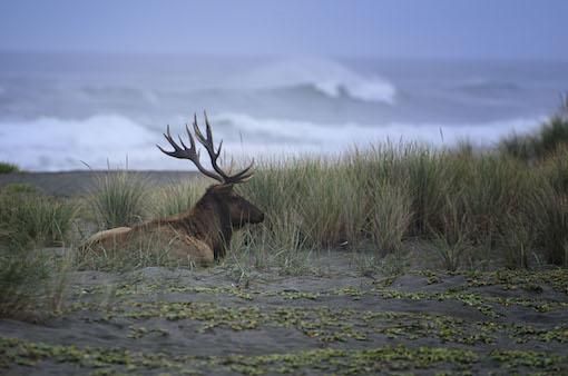 05_Redwood nationaal park - Mannetjes elk (Bull elk) op het strand